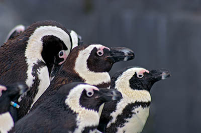 A group of African Penguins