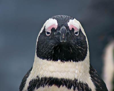 Penguin Portrait: Thousand Yard Stare