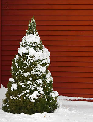 A nice little Christmas tree, decorated in snow